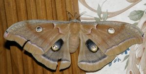 Polyphemus Moth 3 by redtailhawker