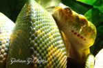 BIak Type Green Tree Python by GuillaumeGagnon