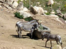 Zebras by my-dog-corky