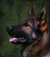 German Shepherd Portrait by Nightwolfemp
