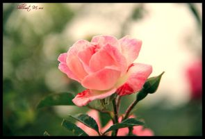 Truly rose by ShlomitMessica