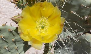 Cactus flower for Selina by JulianasGrandma