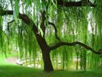 Weeping Willow by Amy2121
