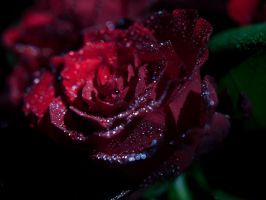 Red Roses II by TheChosenPesssimist