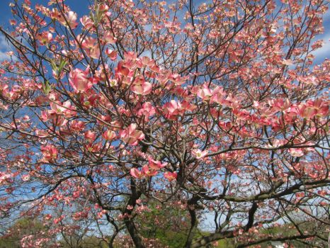 Pink Flowering Tree by trebleclef87