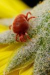 Red Velvet Mite by dalantech