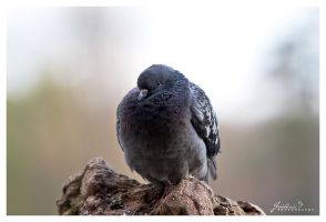 Pigeon - II by FredericD