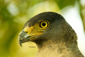 Serpent Eagle by ThomasMohan