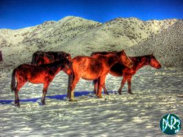 wild horses one hdr by DCRIII
