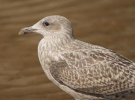 Young Herring Seagull 3 by BlueFireVixon