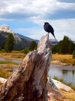 Yosemite Blackbird by KitsuneTsuki09