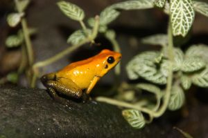 Posion Dart Frog by TheConclusion
