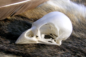 House Sparrow Skull by FossilFeather