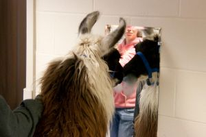 Llama and the mirror by AmblingPhotographer