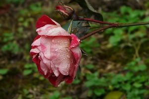 December Rose 2 by organicvision