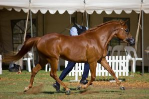 STOCK - 2014 TotR Arabians-5 by fillyrox