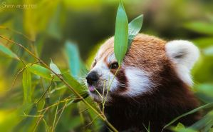 Red Panda by SvanderHolst