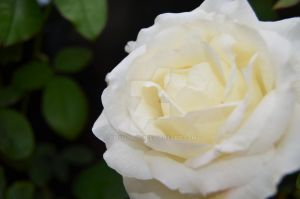 White Rose by CrisHaru94