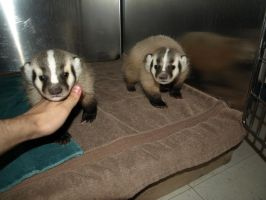Brother and Sister Badger by KodaSilverwing