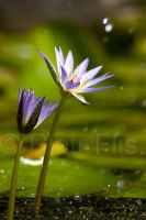 foutaine flower by Alorn