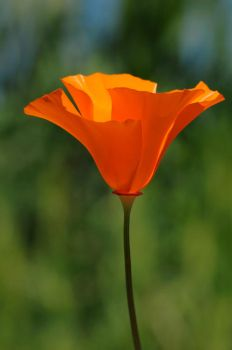 perfect poppy by timeless-treasures