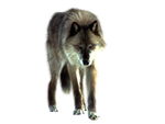PNG Wolf by ITSDura
