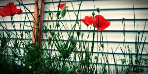 Poppies by JustMe255