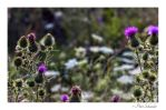 Among thistle by Phototubby