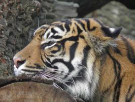Burgers Zoo tiger 4 by JanuaryGuest