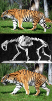 Rough Tiger-to-Smilodon Restoration by oghaki