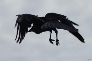 Crow coming in for landing by Creative-Addict