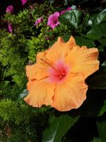 Hibiscus at my garden by riorval