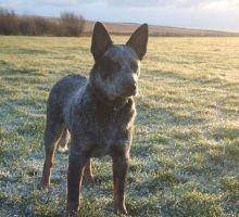 Dodge - Blue Heeler by jipjax