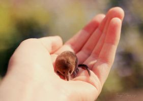 Little Shrew by FreyaPhotos