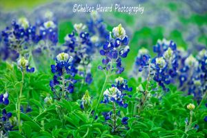 BlueBonnets_6 by cehavard90