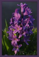 Spring Hyacinth by barcon53