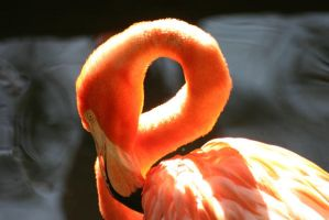 Caribbean Flamingo 01 by 1ASP1