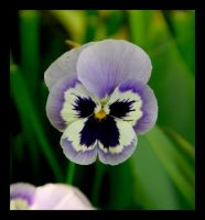 Pansy by manwithashadow