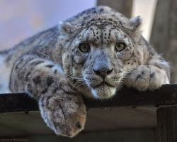 Snow Leopard 6589 by robbobert