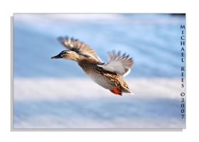Duck taking off by Luv2suspendyou