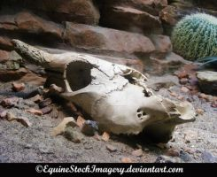 Cow Skull stock 1 by EquineStockImagery