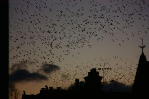 Silhouettes and Starlings by SMCGRANE