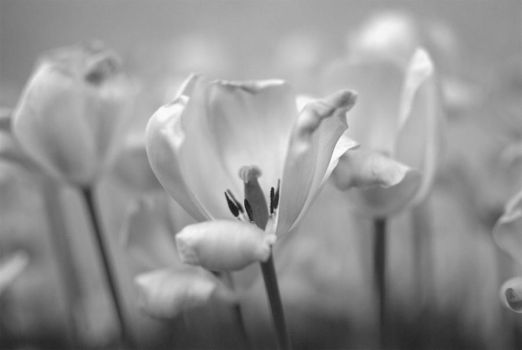 Flowers black and white by Kemaru
