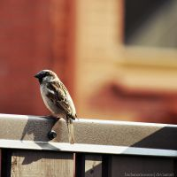 Mr Sparrow by LindaMarieAnson