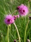 Thistle by 6dragonfly9