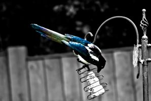 Colourful Magpie by RealUprightMan