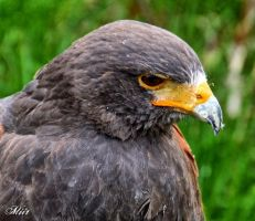 Harris hawk by miirex