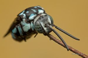 Cloak and Dagger Cuckoo Bee by melvynyeo