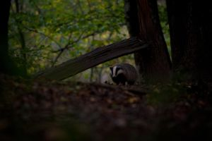 Badger II by HenrikHolmberg