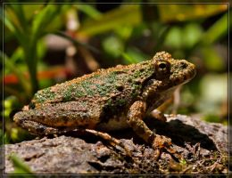 Cricket Frog 50D0000018 by Cristian-M